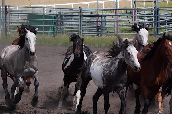 horses_bonnyville_1_cred_sheri_landry